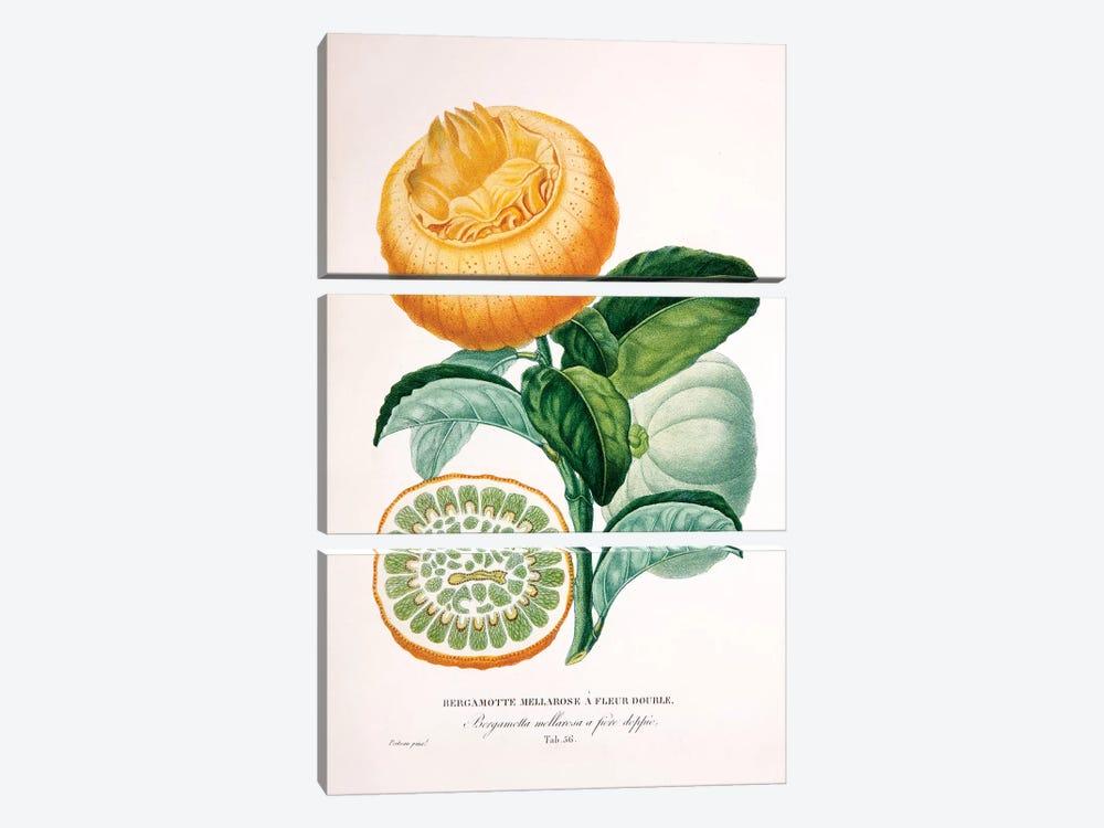 Bergamotte Mellarose A Fleur Double by Pierre-Antoine Poiteau 3-piece Art Print
