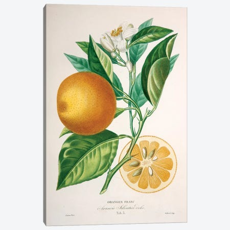 Oranger Franc Canvas Print #PAP5} by Pierre-Antoine Poiteau Canvas Art Print