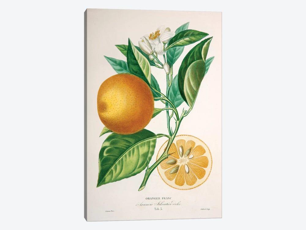 Oranger Franc by Pierre-Antoine Poiteau 1-piece Canvas Print