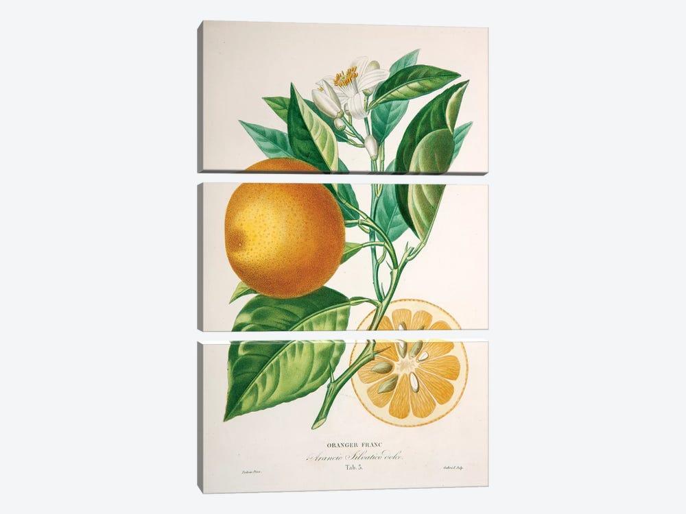 Oranger Franc by Pierre-Antoine Poiteau 3-piece Art Print