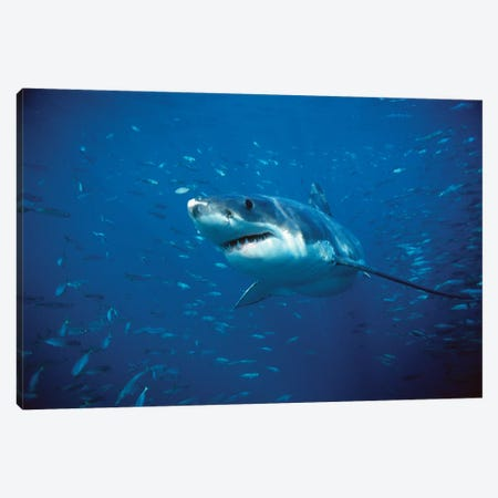 Great White Shark Swimming Through A School Of Fish, Neptune Islands, South Australia Canvas Print #PAR1} by Mike Parry Canvas Art