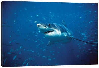 Great White Shark Swimming Through A School Of Fish, Neptune Islands, South Australia Canvas Art Print