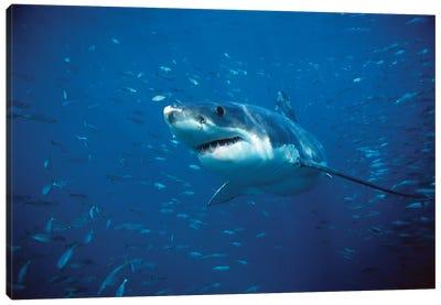 Great White Shark Swimming Through A School Of Fish, Neptune Islands, South Australia Canvas Art Print