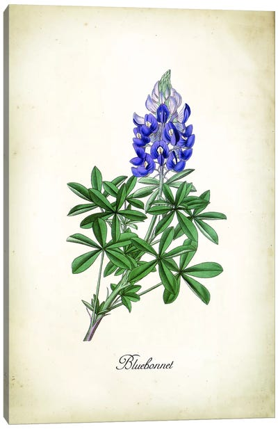 Blue Bonnet Canvas Art Print