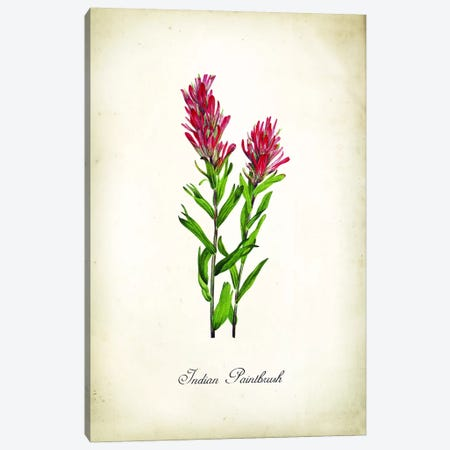 Indian Paintbrush Canvas Print #PAT162} by PatentPrintStore Canvas Print