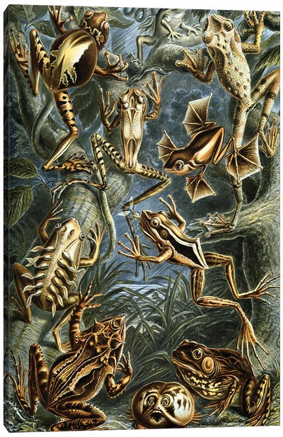 Haeckel Frog Canvas Art Print