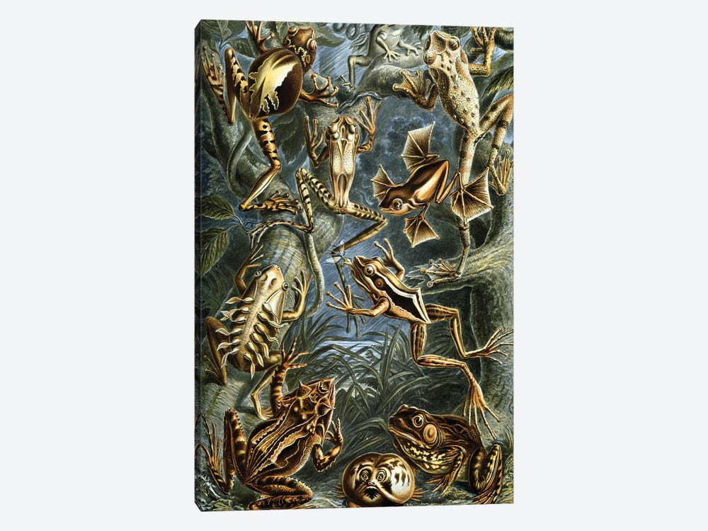 Haeckel Frog by PatentPrintStore 1-piece Canvas Wall Art