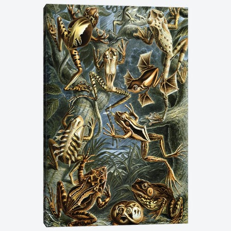 Haeckel Frog Canvas Print #PAT68} by PatentPrintStore Canvas Artwork