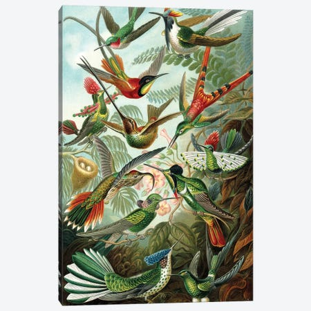 Haeckel Hummingbirds Canvas Print #PAT69} by PatentPrintStore Canvas Artwork
