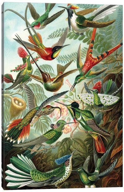 Haeckel Hummingbirds Canvas Art Print