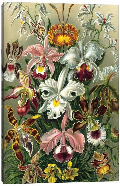 Haeckel Orchids Canvas Art Print