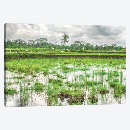 Bali Rice Field Canvas Print #PAU128} by Mark Paulda Canvas Art