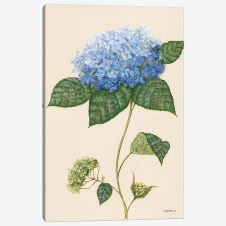 Blue Hydrangea Canvas Print #PBR13} by Pam Britton Art Print