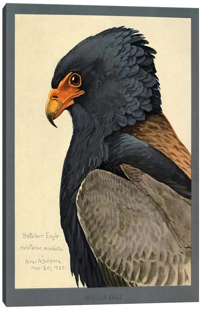 Abyssinian Bateleur Eagle Canvas Art Print