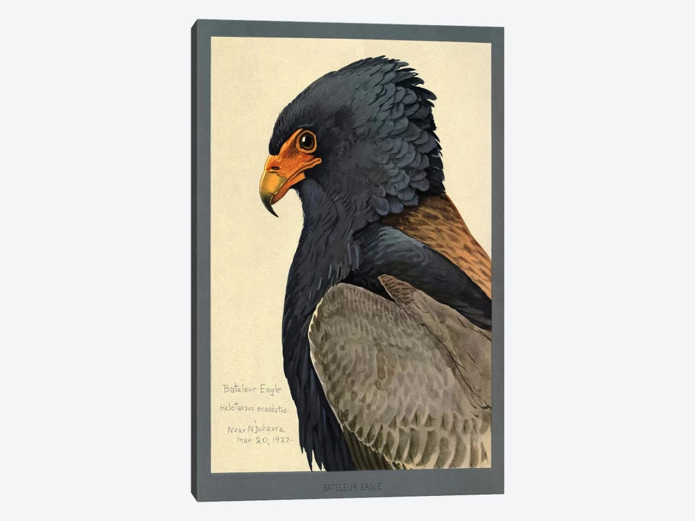 Abyssinian Bateleur Eagle by Print Collection 1-piece Canvas Wall Art