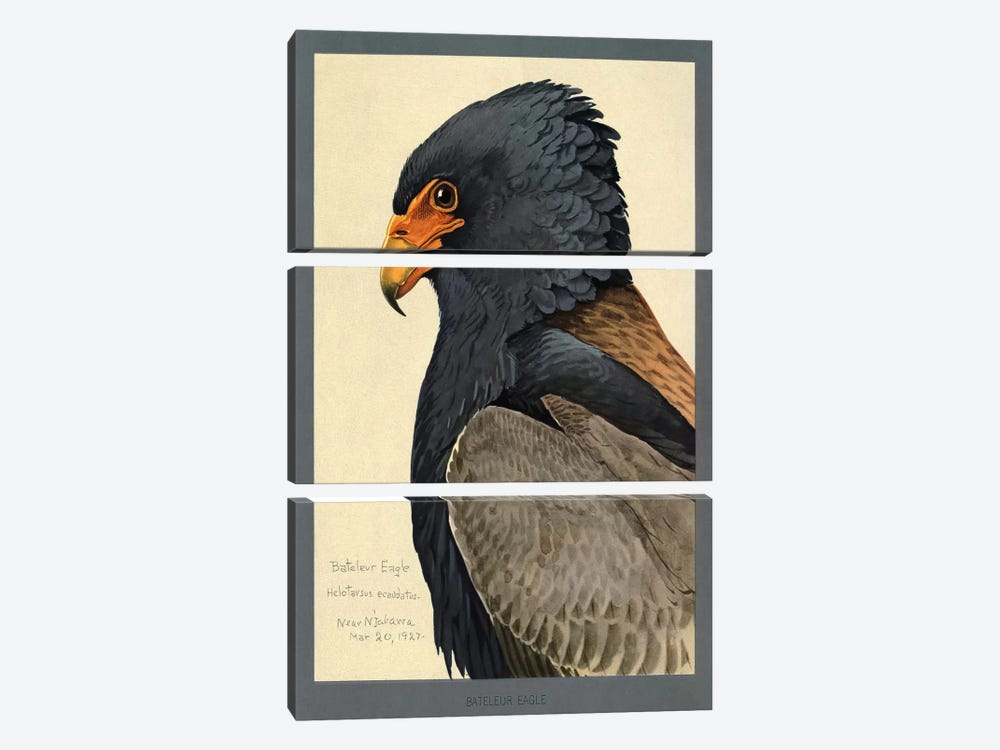 Abyssinian Bateleur Eagle by Print Collection 3-piece Canvas Wall Art