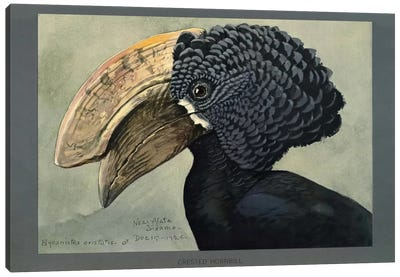Abyssinian Crested Hornbill Canvas Print #PCA152