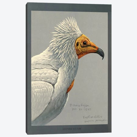 Abyssinian Egyptian Vulture Canvas Print #PCA153} by Print Collection Canvas Print