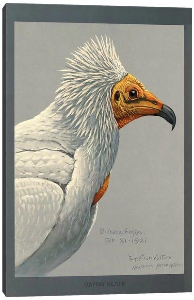Abyssinian Egyptian Vulture Canvas Art Print