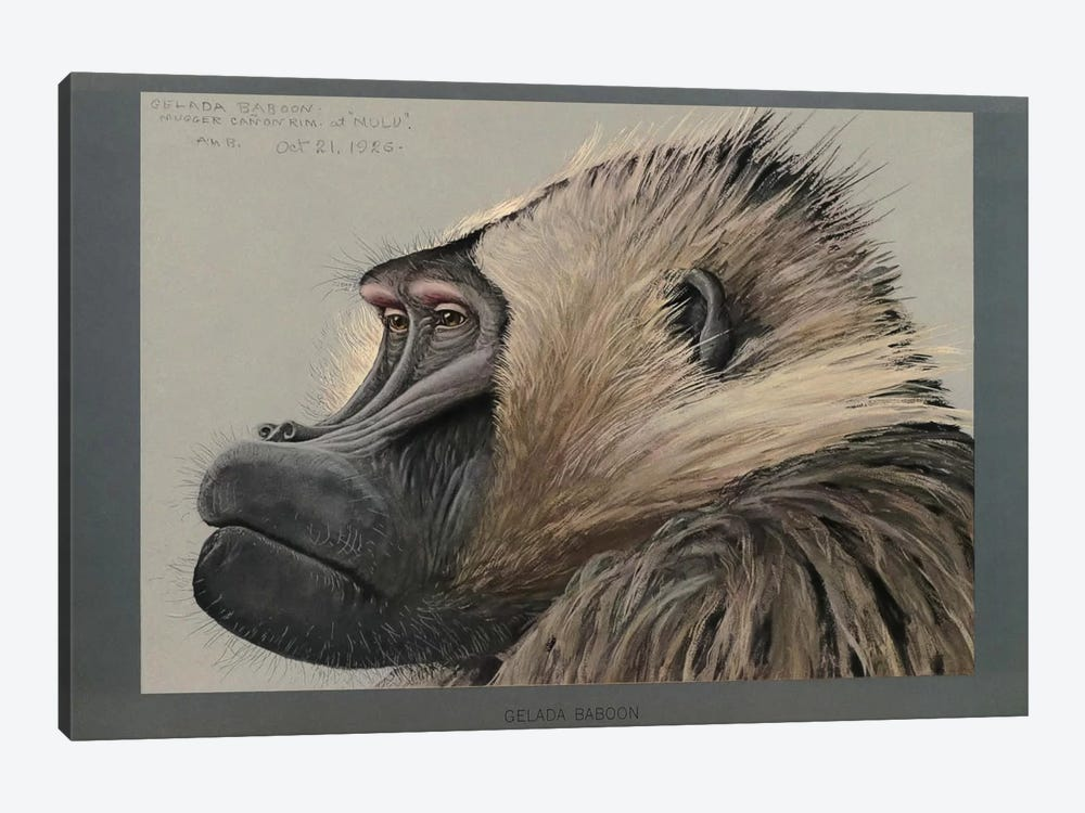 Abyssinian Gelda Baboon by Print Collection 1-piece Canvas Art Print