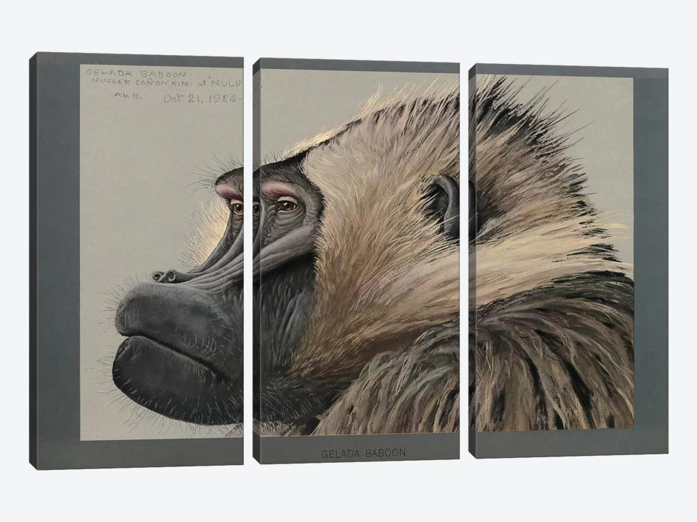 Abyssinian Gelda Baboon by Print Collection 3-piece Canvas Art Print