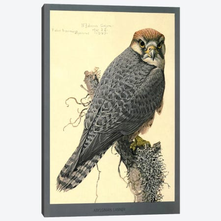 Abyssinian Lanner Falcon Canvas Print #PCA155} by Print Collection Canvas Art