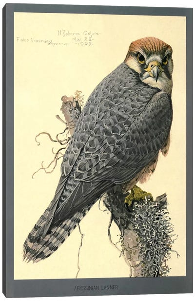 Abyssinian Lanner Falcon Canvas Art Print