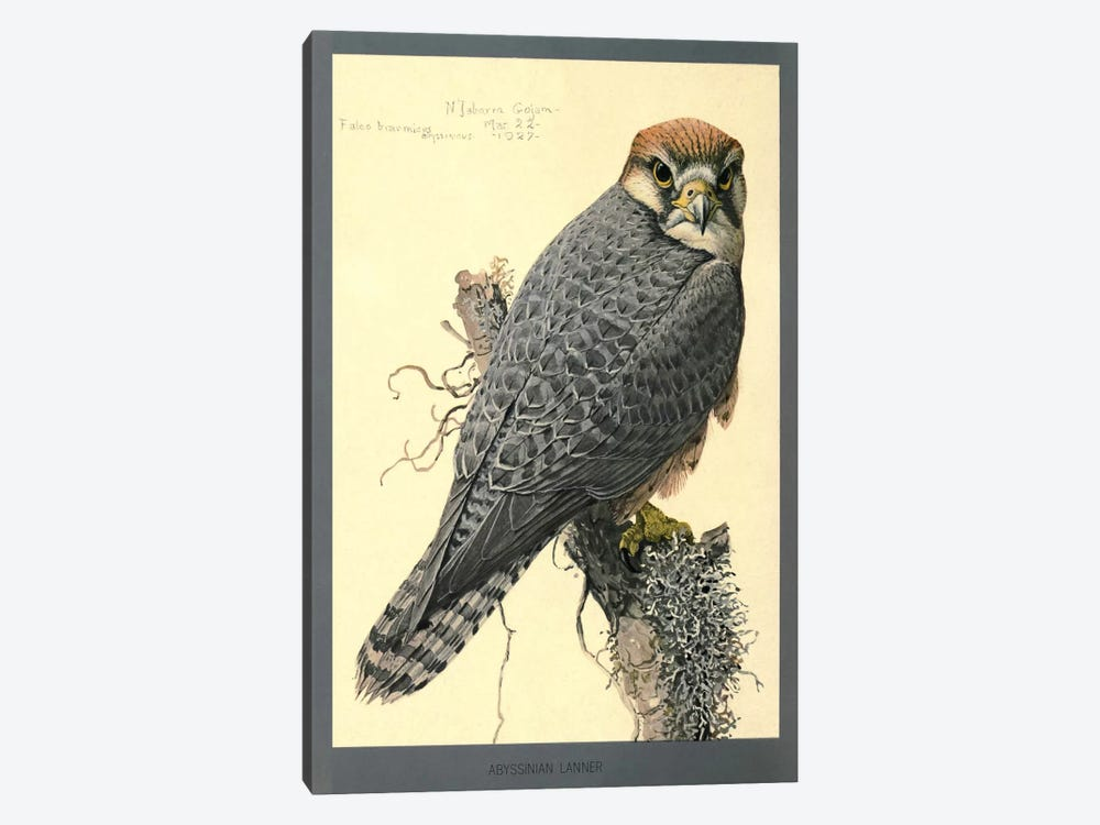 Abyssinian Lanner Falcon by Print Collection 1-piece Canvas Art