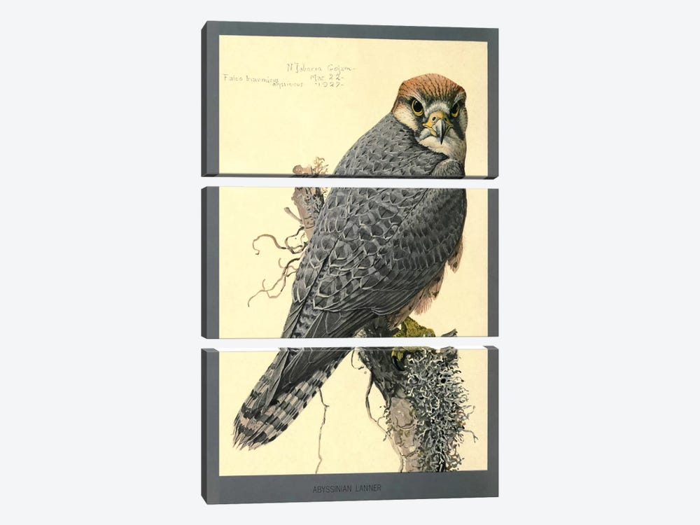 Abyssinian Lanner Falcon 3-piece Canvas Artwork