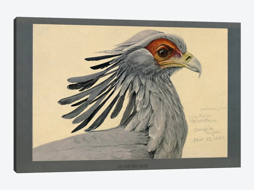 Abyssinian Secretary Bird by Print Collection 1-piece Canvas Print