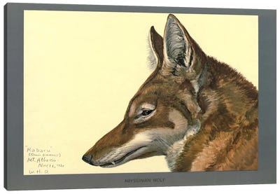 Abyssinian Wolf Canvas Print #PCA157