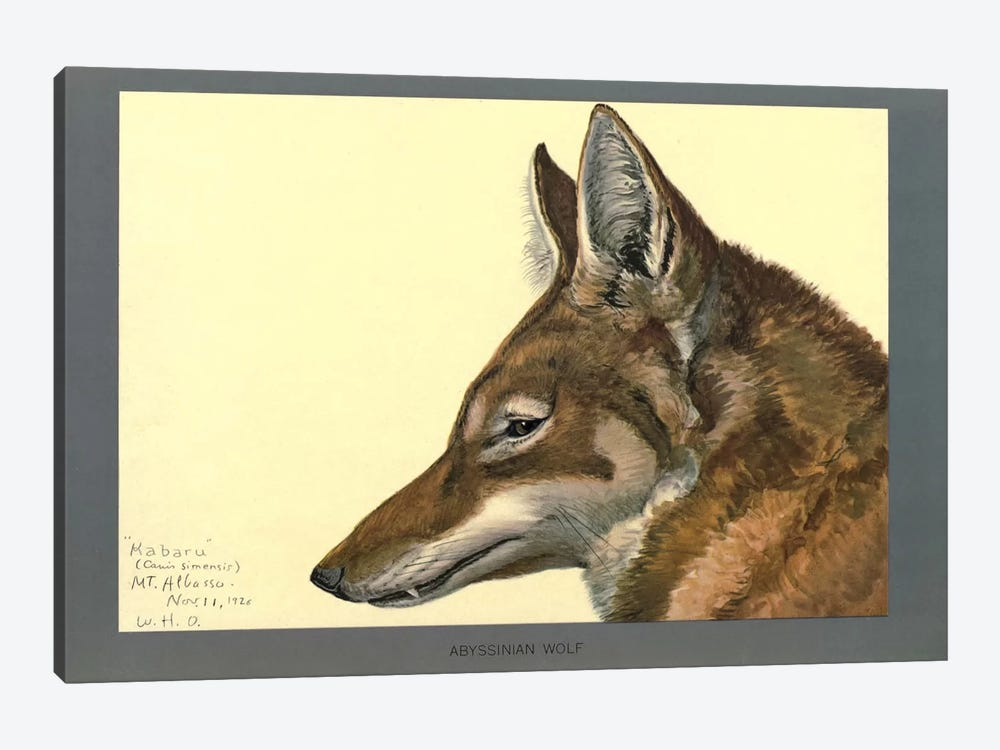 Abyssinian Wolf by Print Collection 1-piece Canvas Wall Art