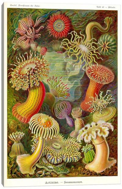 Actiniae - Scheiben-Strahlinge - Heliodiscus Canvas Print #PCA159