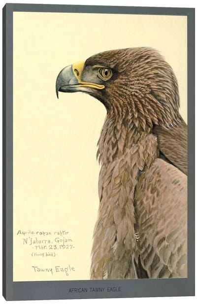 African Tawny Eagle Canvas Art Print