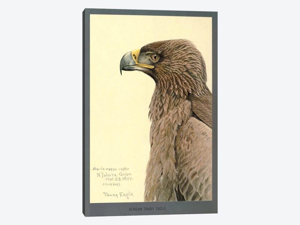 African Tawny Eagle by Print Collection 1-piece Canvas Print