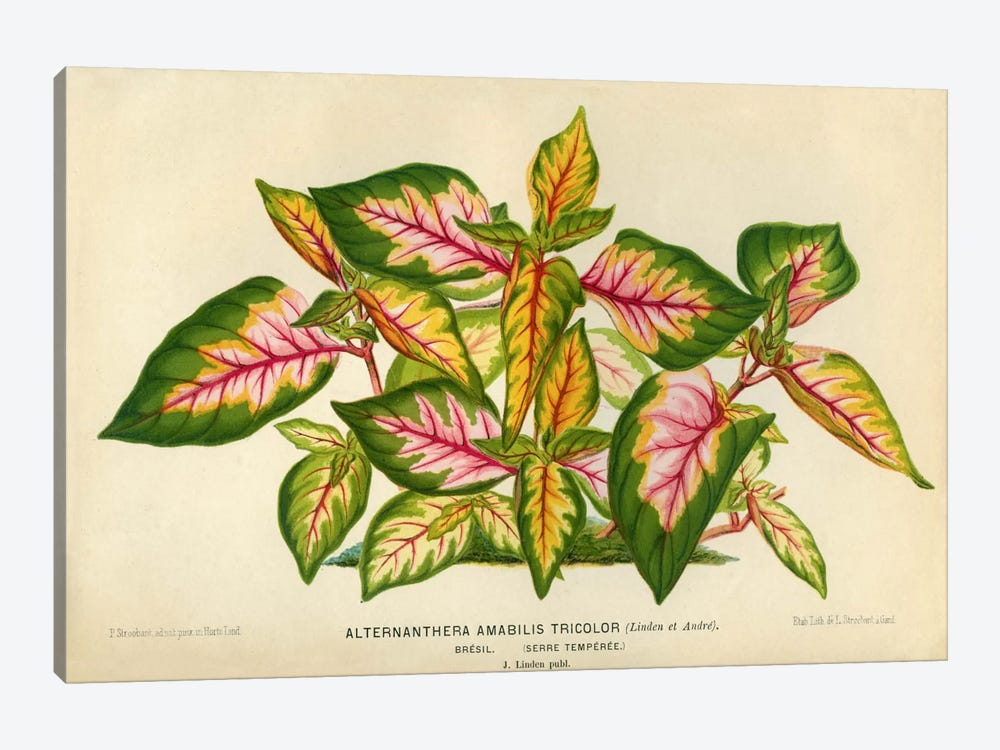 Alternanthera Amabilis Tricolor by Print Collection 1-piece Canvas Art