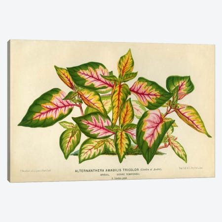 Alternanthera Amabilis Tricolor Canvas Print #PCA162} by Print Collection Canvas Artwork