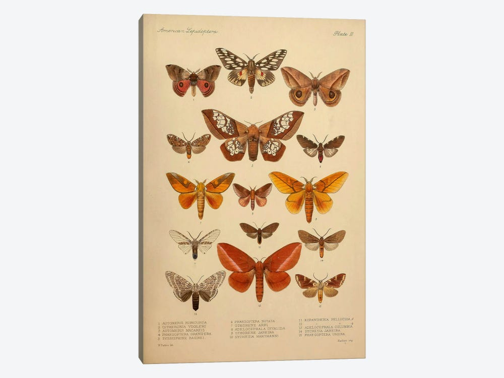 American Lepidoptera, Plate 3 by Print Collection 1-piece Canvas Print