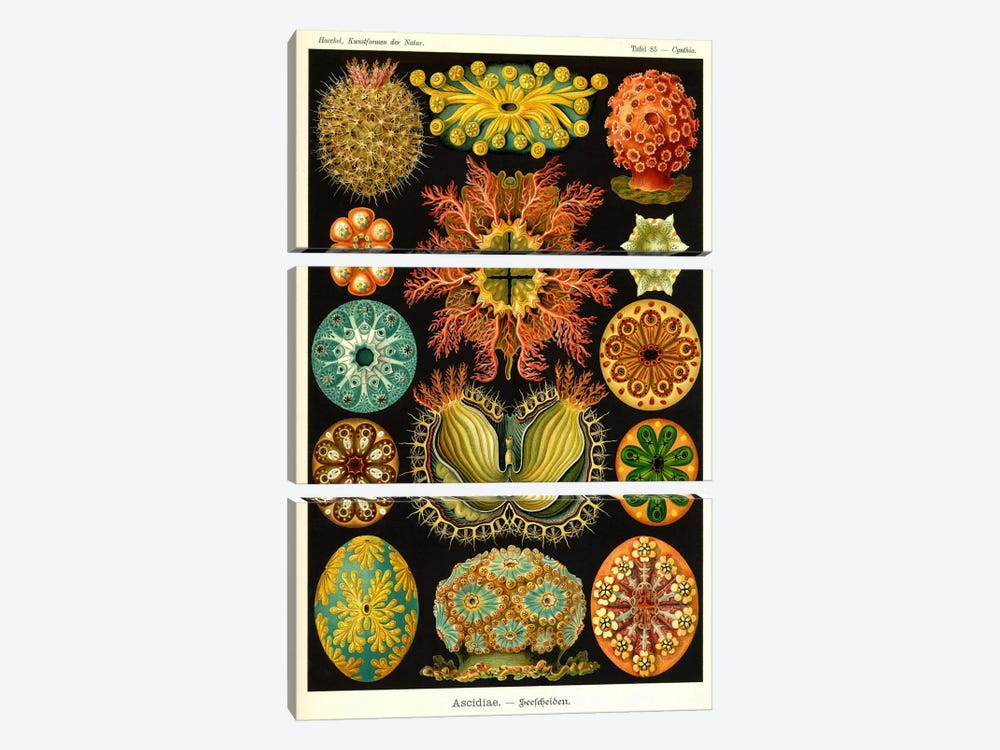 Ascidiae 3-piece Canvas Art Print