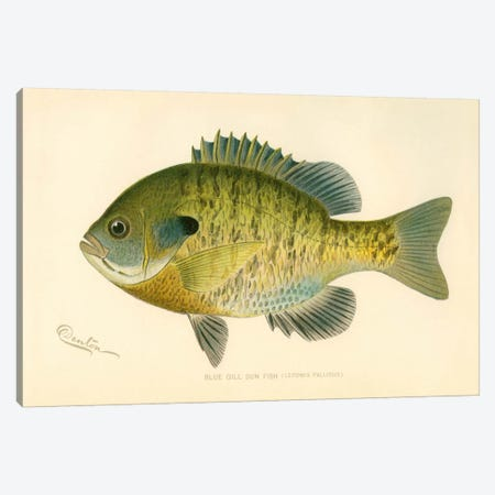Blue Gill Sun Fish Canvas Print #PCA167} by Print Collection Art Print