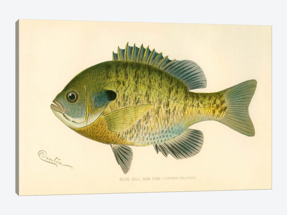 Blue Gill Sun Fish 1-piece Art Print