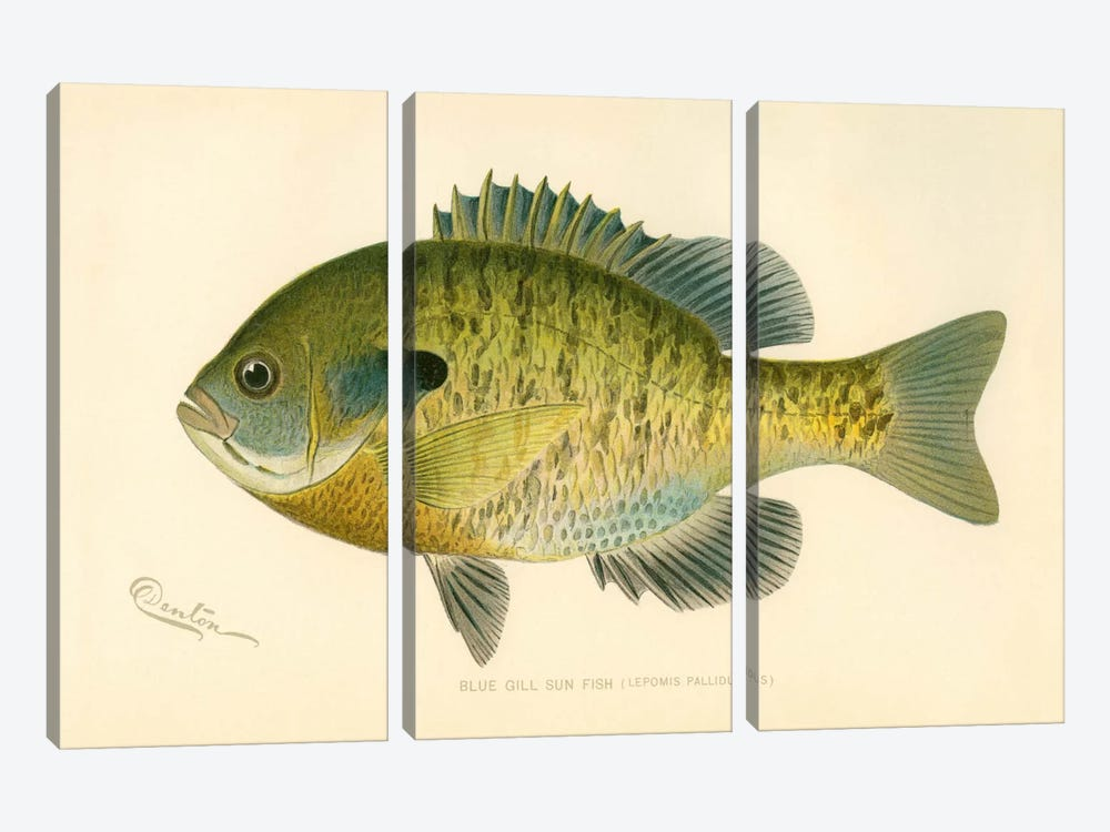 Blue Gill Sun Fish by Print Collection 3-piece Canvas Print