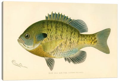 Blue Gill Sun Fish Canvas Art Print