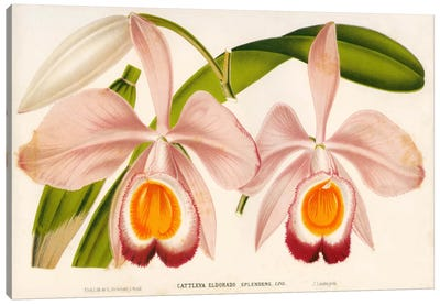Cattleya Eldorado Splendens Canvas Art Print