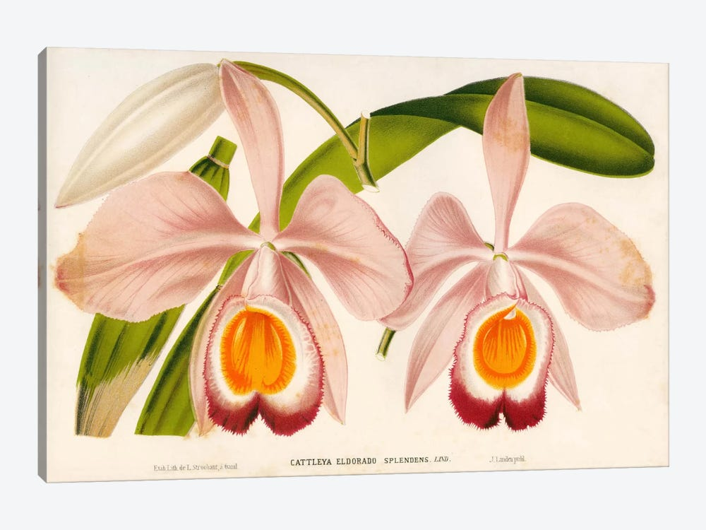 Cattleya Eldorado Splendens by Print Collection 1-piece Canvas Artwork