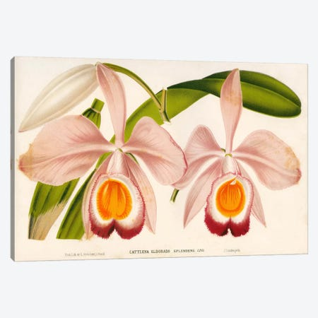 Cattleya Eldorado Splendens Canvas Print #PCA184} by Print Collection Canvas Print