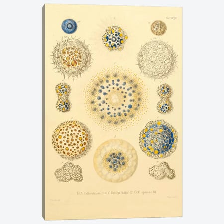 Collosphaera Radiolaria Canvas Print #PCA187} by Print Collection Canvas Print