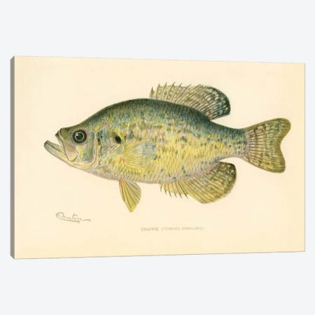 Crappie Canvas Print #PCA188} by Print Collection Canvas Artwork