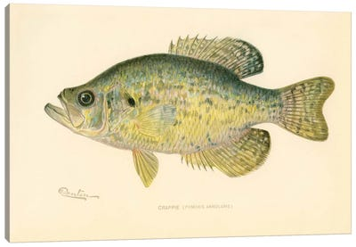 Crappie Canvas Art Print