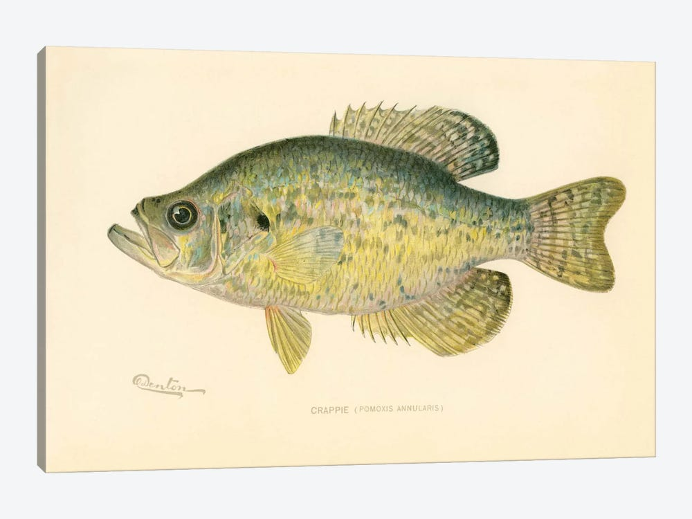 Crappie by Print Collection 1-piece Canvas Art